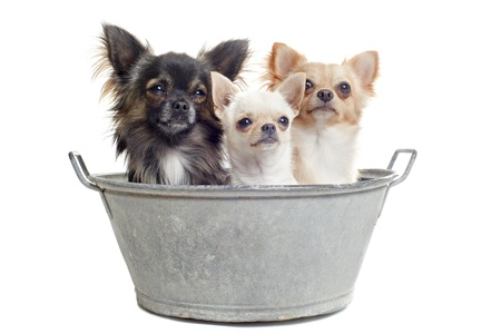 portrait of three purebred  chihuahuas in front of white background photo