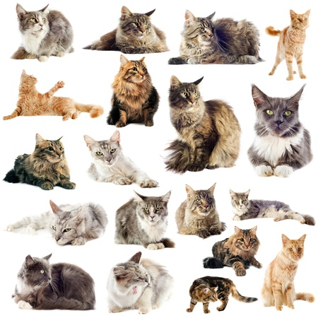 portrait of purebred  maine coon cats on a white background photo