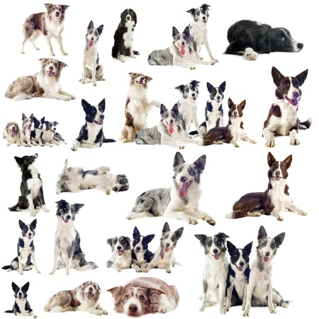 collies: portrait of purebred border collies in front of white background