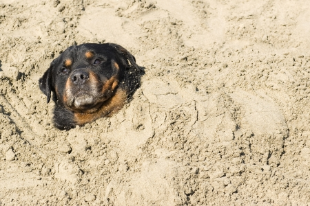 bury: portrait of a purebred rottweiler in the sand Stock Photo