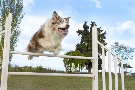 Agility: jumping purebred  border collie on a blue sky