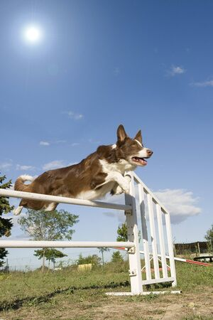 agility dog: jumping purebred  border collie on a blue sky with sun
