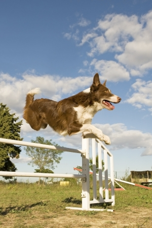 agility dog: jumping purebred  border collie on a blue sky