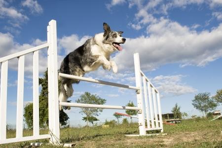 obediencia: saltando de pura raza border collie en un cielo azul Foto de archivo