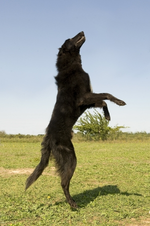 picture of a rearing purebred belgian sheepdog groenendael photo