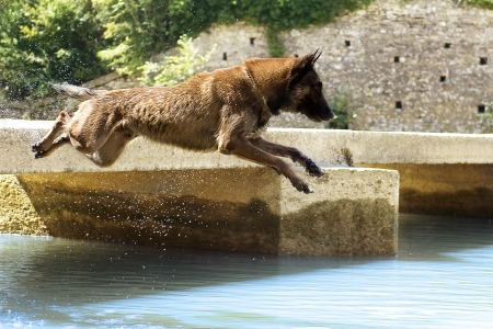 picture of a purebred belgian sheepdog malinois who jumping in the river photo