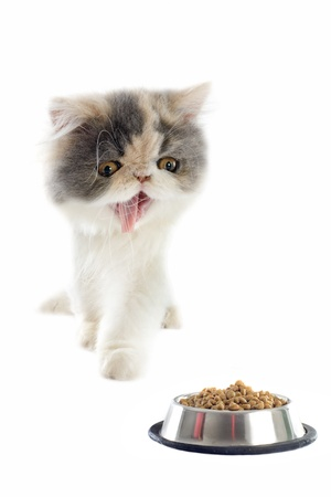 persian cat: portrait of a purebred  persian kitten and cat food on a white background Stock Photo