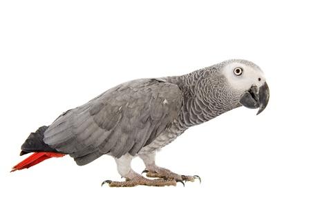 loro: African Grey Parrot, Psittacus erithacus delante de fondo blanco Foto de archivo