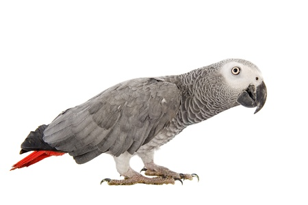 african grey parrot: African Grey Parrot ,Psittacus erithacus in front of white background Stock Photo