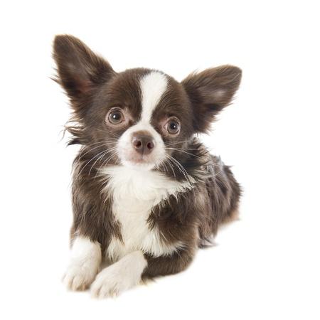 portrait d'un chihuahua de race pure en face de fond blanc