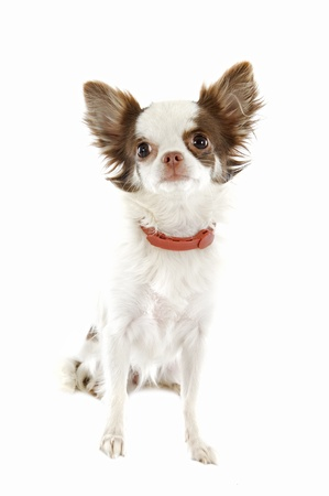 white collars: portrait of a cute purebred chihuahua with preventive collar in front of white background
