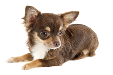 long hair chihuahua: portrait of a cute purebred  puppy chihuahua in front of white background
