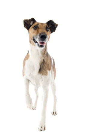 terriers: portrait of a purebred smooth fox terrier in front of white background
