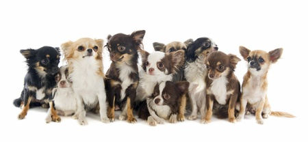 long hair chihuahua: portrait of a cute purebred  chihuahuas in front of white background