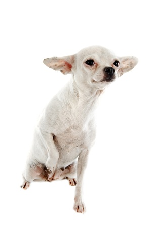 short hair dog: portrait of a cute purebred  chihuahua in front of white background