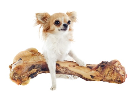 perro comiendo: retrato de un lindo chihuahua y su hueso grande delante de fondo blanco