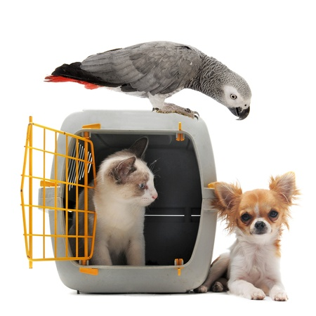 african grey parrot: cat closed inside pet carrier, parrot and chihuahua isolated on white background