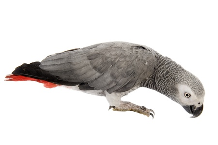 African Grey Parrot ,Psittacus erithacus in front of white background Stock Photo - 15375683