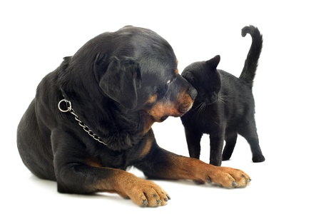 portrait of a purebred rottweiler with his best friend black cat in front of white background photo