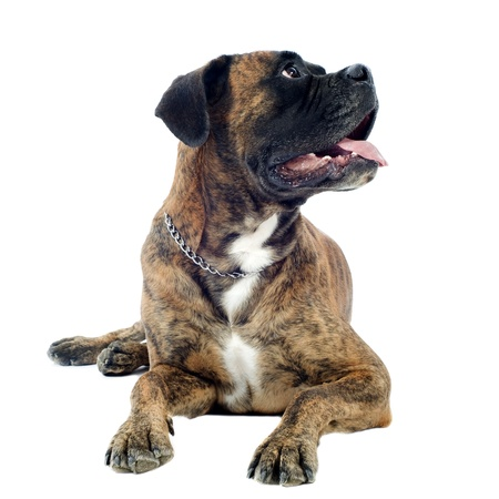 brindle: purebred boxer lying down in front of a white background