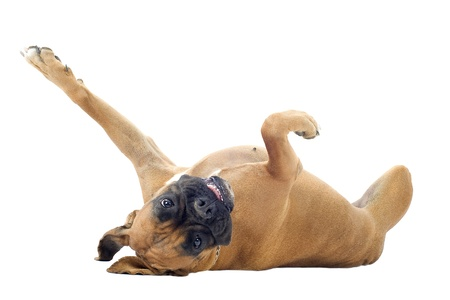 rolling: purebred boxer lying down on the back in front of a white background