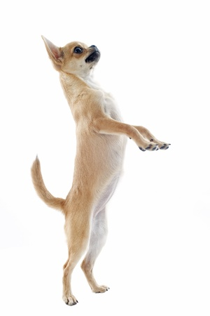 hind: portrait of a cute purebred puppy chihuahua standing on his hind legs