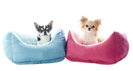 short hair dog: portrait of a cute purebred  chihuahuas in front of white background