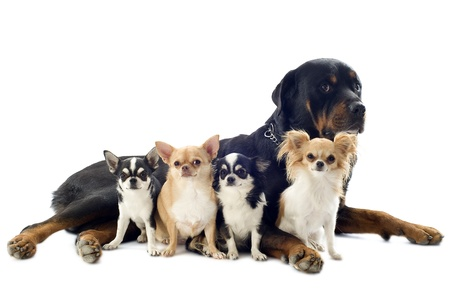 dogs sitting: portrait of a purebred rottweiler and chihuahuas in front of white background