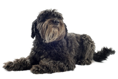 pyrenean: portrait of a pyrenean sheepdog in front of white background Stock Photo