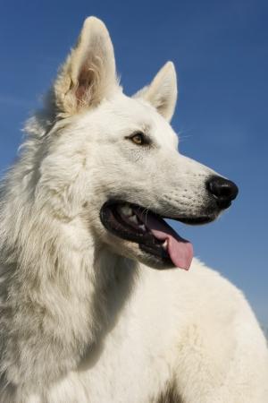 german swiss: Purebred White Swiss Shepherd in a blue sky
