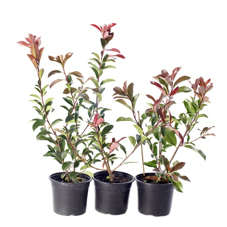 japanese photinia in pot in front of white background Stock Photo