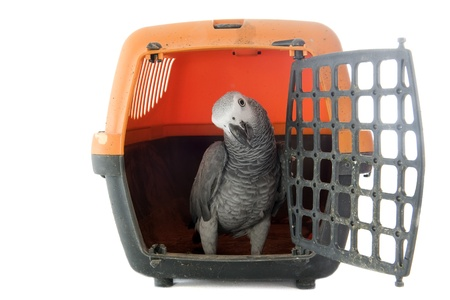 African Grey Parrot ,Psittacus erithacus in a kennel in front of white background photo