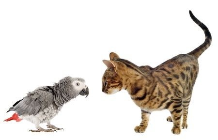 african grey parrot: scaring African Grey Parrotand bengal cat in front of white background Stock Photo