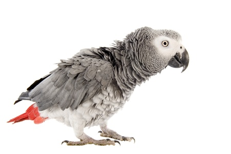 scaring African Grey Parrot ,Psittacus erithacus in front of white background photo