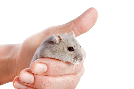 russian hamster: portrait of a cute Djungarian hamster in an hand in front of white background