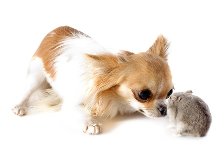russian hamster: portrait of a cute purebred  chihuahua and Djungarian hamster in front of white background