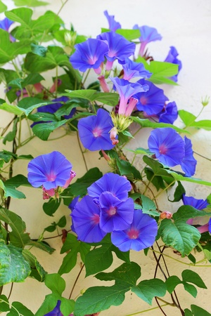 purpurea: picture of blue ipomea on a wall