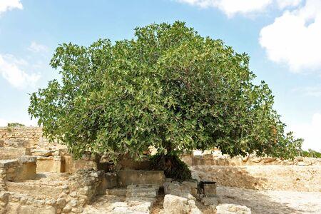 feigenbaum: Bild von einem gro�en Feigenbaum in Kreta