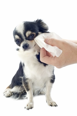 grooming of a cute purebred  puppy chihuahua in front of white background photo