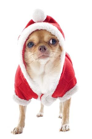 weihnachtsmann lustig: Porträt eines gekleidet Chihuahua Weihnachten vor weißem Hintergrund