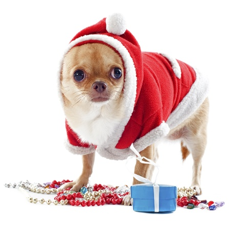 portrait of a dressed chihuahua with jewelry in Christmas in front of white background photo