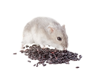 russian hamster: Djungarian hamster eating black rice in front of white background