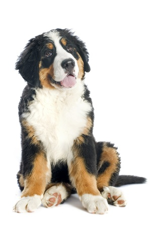 cute dogs: portrait of a purebred bernese mountain dog in front of white background Stock Photo