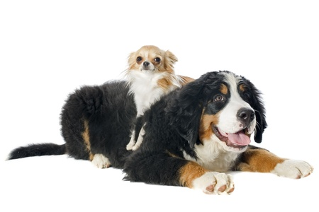 portrait of a puppy bernese mountain dog and chihuahua in front of white background photo