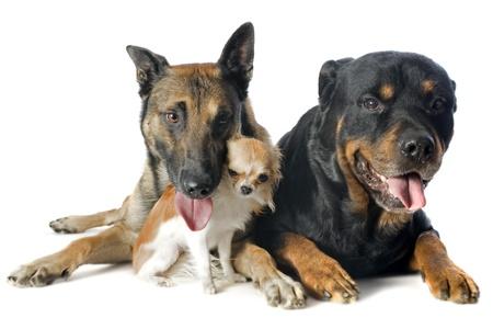 big dog: purebred belgian sheepdog malinois, chihuahua and rottweiler on a white background Stock Photo