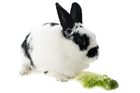 młody karzeł królik czarne i białe z przodu białe tło Zdjęcie Seryjne - 15829292