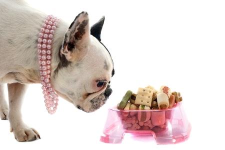 perro comiendo: retrato de un pura raza bulldog franc�s y alimentos para mascotas delante de fondo blanco