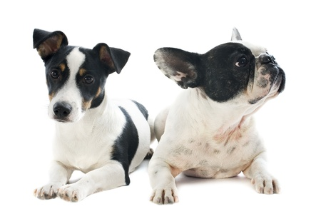 jack russel: portrait of a purebred french bulldog and jack russel terrier in front of white background Stock Photo