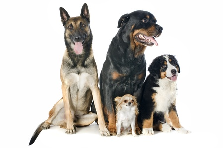 portrait of a purebred bernese mountain dog, malinois, chihuahua and rottweiler in front of white background photo