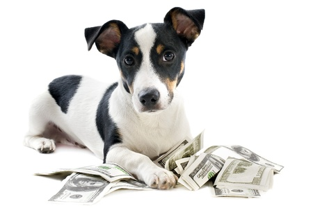 portrait of a puppy jack russel terrier with dollars in studio